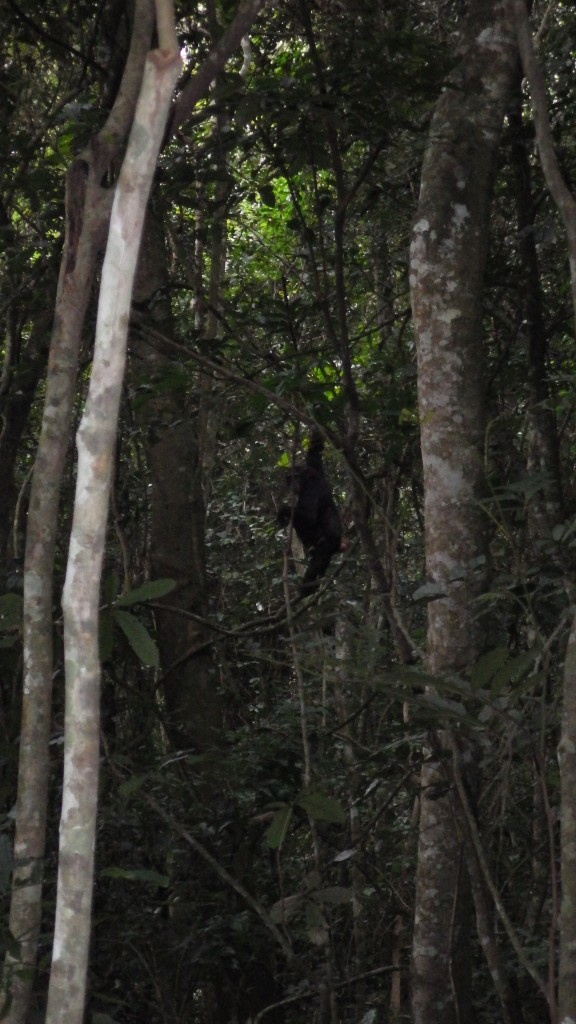 Chimps also like lianas, which provide food and a means of movement around the canopy.