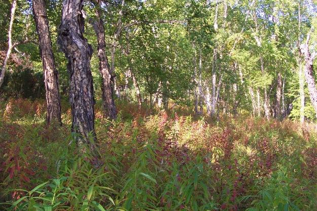 Stone birch (Betula ermanii) in the Uxychan valley, west of Esso, Kamchatka.