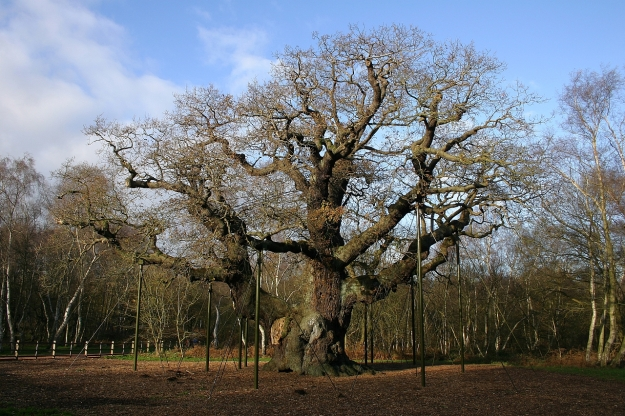 Major_Oak_in_Sherwood_Forest_in_2006