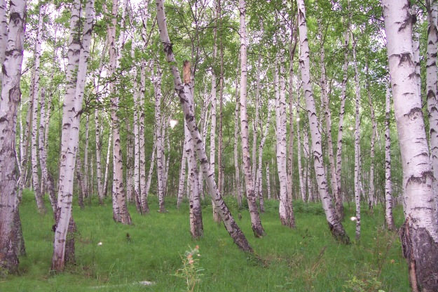 White birch forest, central Kamchatka