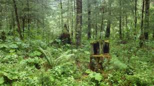 The forest remains but the giants are being lost.