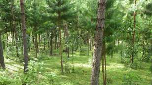 A developing plantation of Pinus patula. Here, close to the village, they also graze sheep beneath them.