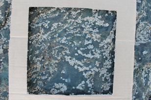 Acorn barnacles (Semibalanus balanoides)