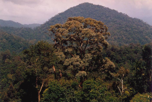 A dipterocarp tree (Shorea curtisii)